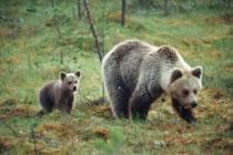 A l'affût des ours bruns