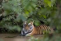 Tigres et maharajas...