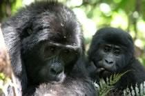 Du Kilimandjaro aux gorilles des Virunga